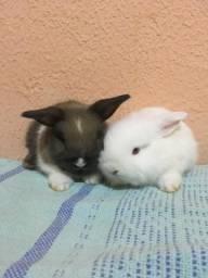 Vendas de coelhos Raça Fuzzy lop