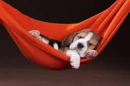 Beagle - se presenteie no natal!