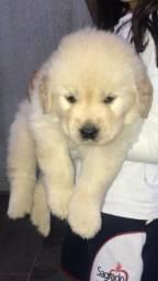 Golden Retriever Puro nascido em 12/01 2020