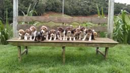Beagle Mini/ @canilcanaa/ PA