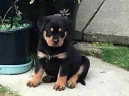 Rottweiler lindos filhotinhos disponíveis.