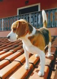 Beagle procura fêmea para cruzar