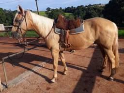Cavalo quarto de milha baio amarilho