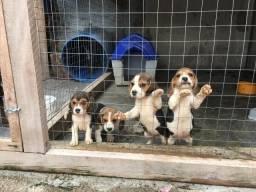 Femeas de Beagle