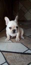 Bulldog francês macho creme com muita estrutura