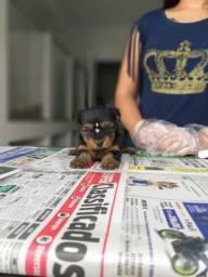 Yorkshire Terrier com garantia de saúde a pronta entrega, até 12x sem juros!