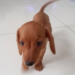 Cachorrinho Salsicha apenas 180,00