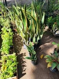 Planta Dracaena trifasciata - Espada