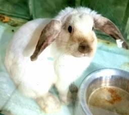 Título do anúncio: Mini coelho Fuzzy Lop