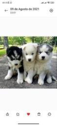 Título do anúncio: Maravilhosos Filhotes de Husky Siberiano