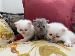 Lindos filhotes gato persa
