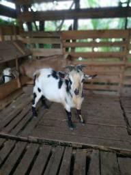 Título do anúncio: Mini cabra macho adulto