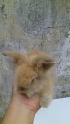 Coelho mini lion head