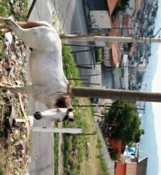 Cavalo bom pra sela mestiço manga larga domado tem apenas 7 anos