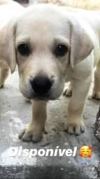 Vende-se filhote de labrador