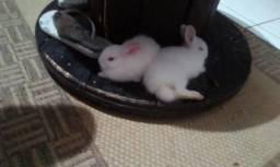 Filhote de mini coelho netherlanders