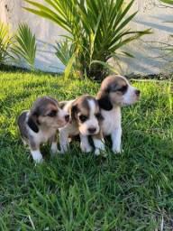 Beagle Mini/ @canilcanaa/ AC