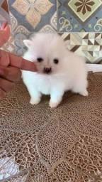 Título do anúncio: Lulu anão branco neve