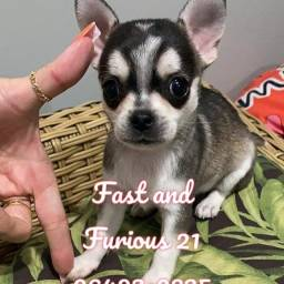 Chihuahua menina de Pêlo curto. Vacinada e com pedigree Parcelamos no cartão