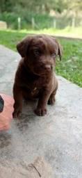 Vende-se filhote de Labrador - Macho.