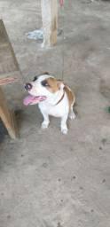 Cachorro raça Pitbull red monster