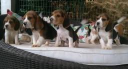 Beagle Inglês (Reserva)-Canil Canaã