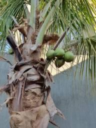 Coqueiro já produzindo frutos