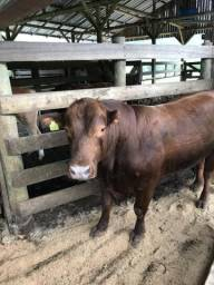 Vendo touro Red Angus