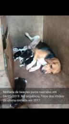 Filhotes de beagle puros