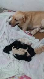 Filhotes de labrador original com 8 dias de vida