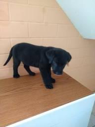 Cão Raça Labrador
