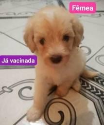 Vende-se linda filhote de Poodle N°1 - RETIRADA EM CAMAÇARI!