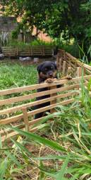 Vendo filhote macho de Rottweiler