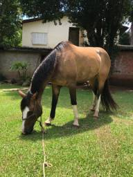 Égua crioula confirmada gateada