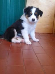 Border Collie, macho,45 dias