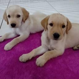 Título do anúncio: Lindos filhotes de Labrador para vender