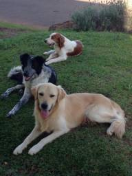 Spaniel Bretão, Border Collie e Golden Retriever para cruza