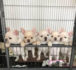 Bulldog Francês suporte veterinário gratuito