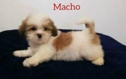 Disponível para venda lindos filhotes de Lhasa Apso.
