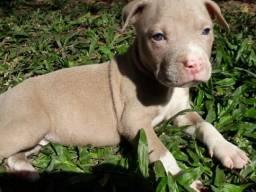 Pitbull american terrier com pedigree