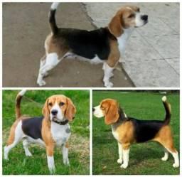 Beagle Fêmea Matriz