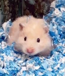 Hamster (Ursinho) Sírio Genética Apurada (Subtipo Black-Eyed Cream)