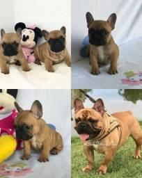 Mini Bulldog francês fêmeas. Para pessoas exigentes