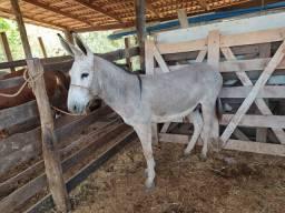 Jumento Pega reprodutor produzir mula e burros de marcha.