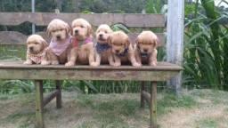 Lindos filhotes de Golden Retriever disponíveis