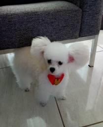 Procuro NAMORADA ,para meu Poodle Micro