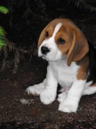 Beagle, macho e fêmea á pronta entrega