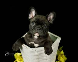 Bulldog Francês lindos filhotes