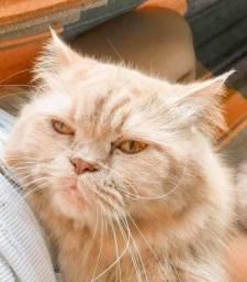 Gato Persa. Procuro Namorada!
