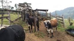Vaca gerse / vaca mestiça